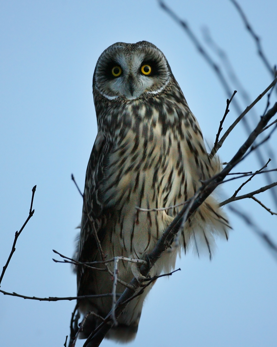 Short-eared Owl, Chinook Mine North, Vigo County, Indiana, January 7, 2008