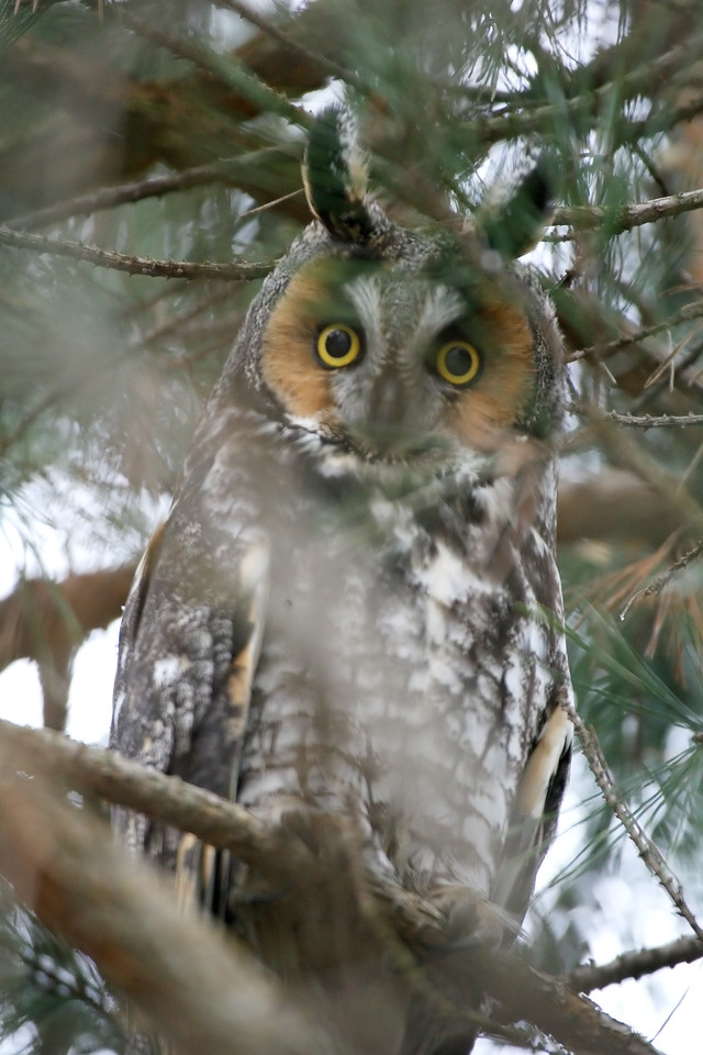Long-eared Owl, Pulaski County, Indiana, January 17, 2008.  Found in small grove of pine trees on Carl Williams property.
