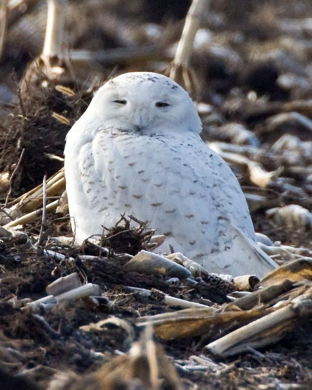 Snowy Owl, Benton County, Indiana, 700N 1200E., February 24, 2009.