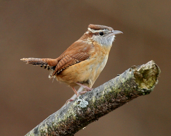 Chickadees, Tits, Nuthatches, Creepers, Wrens - Twelve of the thirteen species expected in Indiana have been photographed