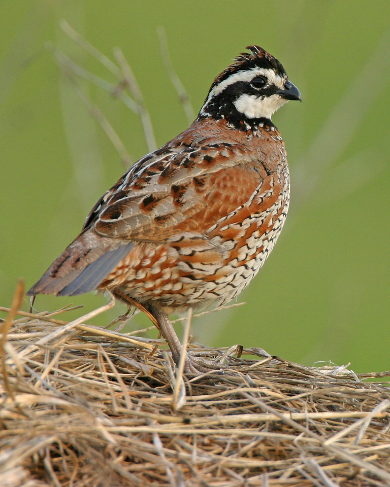 Northern Bobwhite on hay bale, Chinook Mine North, Vigo County, Indiana, May 19, 2006