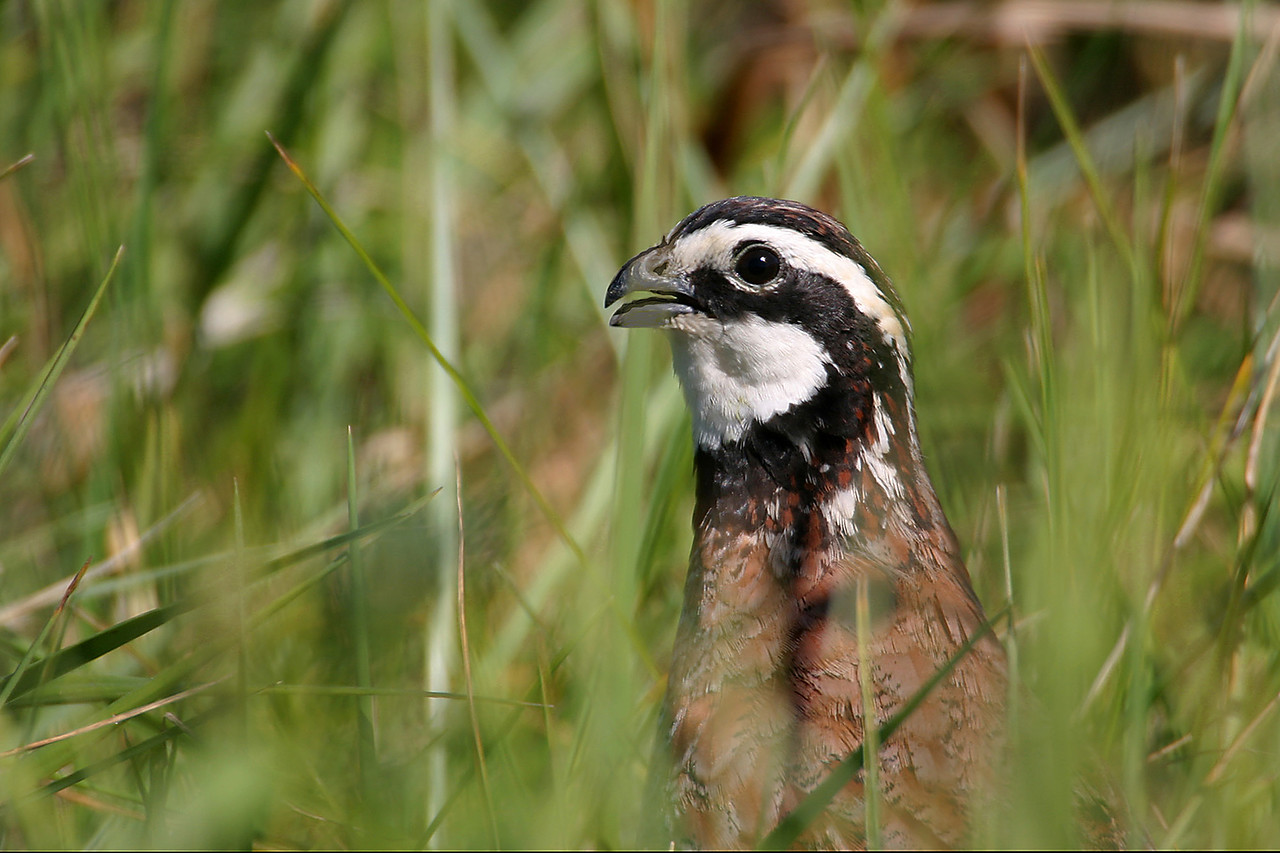 Northern Bobwhite, Chinook Mine, Vigo County, Sept 30, 2005.