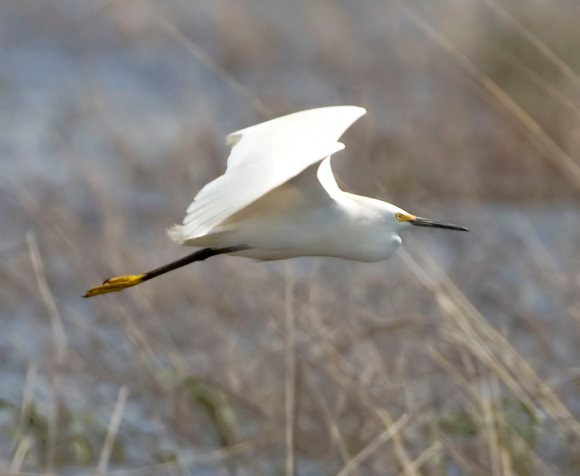 Snowy Egret, Goose Pond 9, Greene County, Indiana, April 25, 2009.  #261