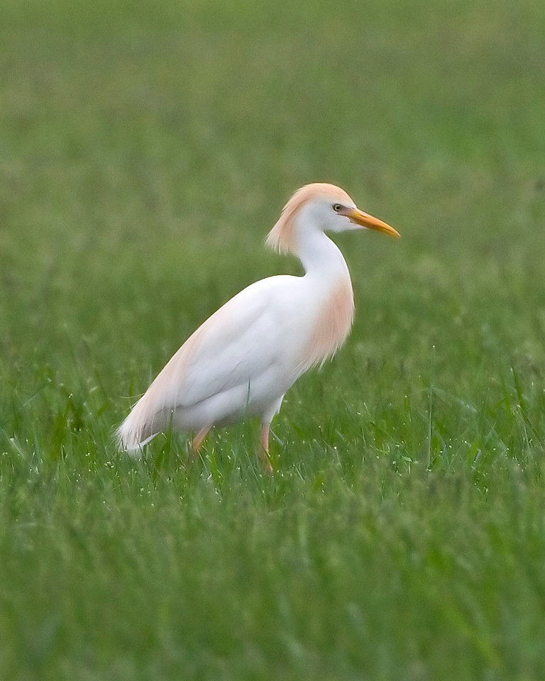 Cattle Egret, Northern Vigo County, Indiana, April 30, 2009.  Seven Cattle Egrets were present.  My 262nd photographed Indiana bird species.