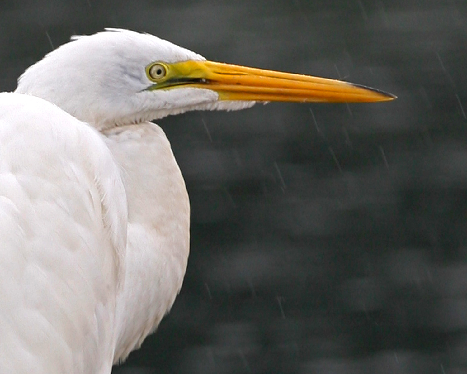 Great Egret in the rain, Brazil Lagoons, August 11, 2006