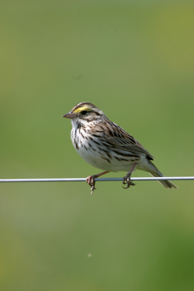 Savannah Sparrow, Chinook Mine, May 2005