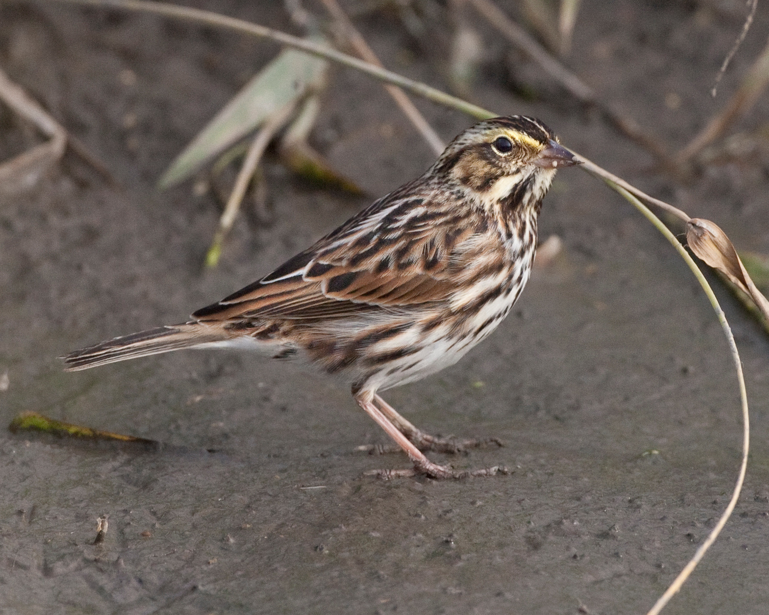 Savannah Sparrow, McCool Basin, Portage County, Indiana, October 2010.