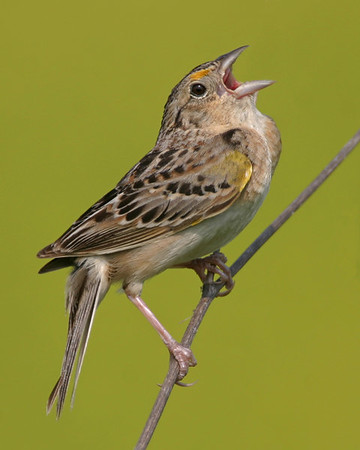 New World Sparrows - Twenty-two of the twenty-three species expected in Indiana have been photographed