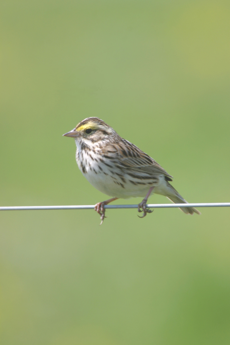 Savannah Sparrow, Chinook Mine, May 2005.
