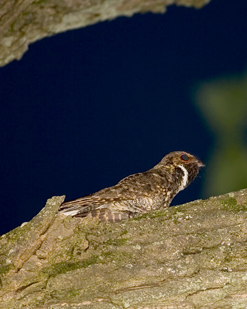 Nighthawks - Two of the three species expected in Indiana have been photographed