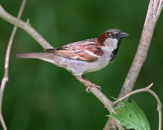 Old World Sparrows - One of the two species expected in Indiana have been photographed
