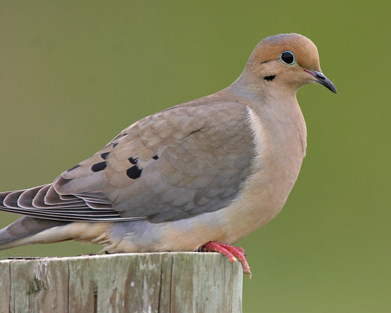 Pigeons, Doves - All three species expected in Indiana have been photographed