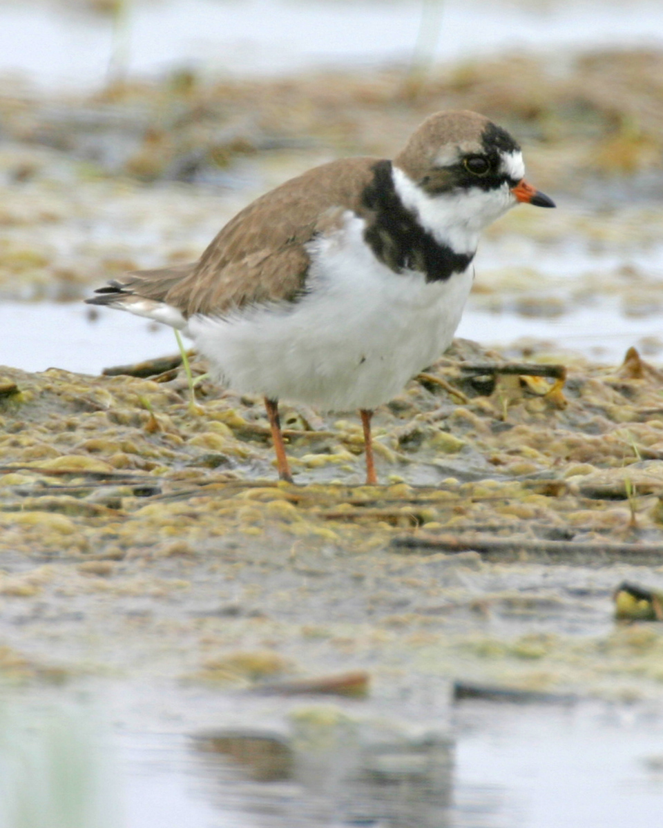 Semipalmated Plover, CR 700 S 100 E, Montgomery County, Indiana, May 24, 2006