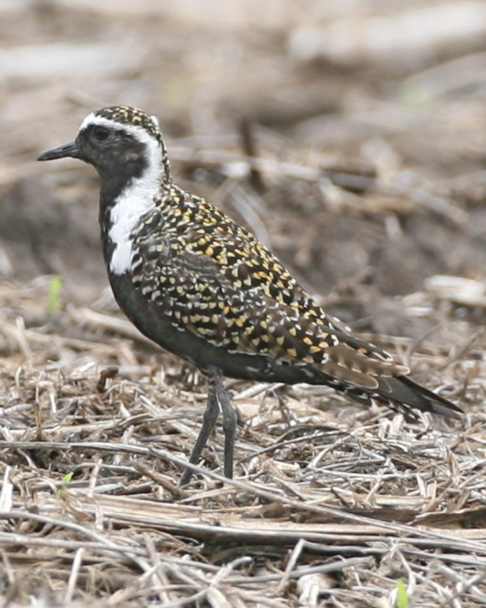 American Golden-Plover, Benton County, Indiana, May 4, 2007.