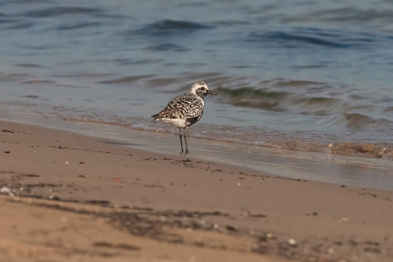 Black-bellied Plover, Miller Beach, Indiana, August 18, 2010.  My 288th photographed bird species in Indiana.