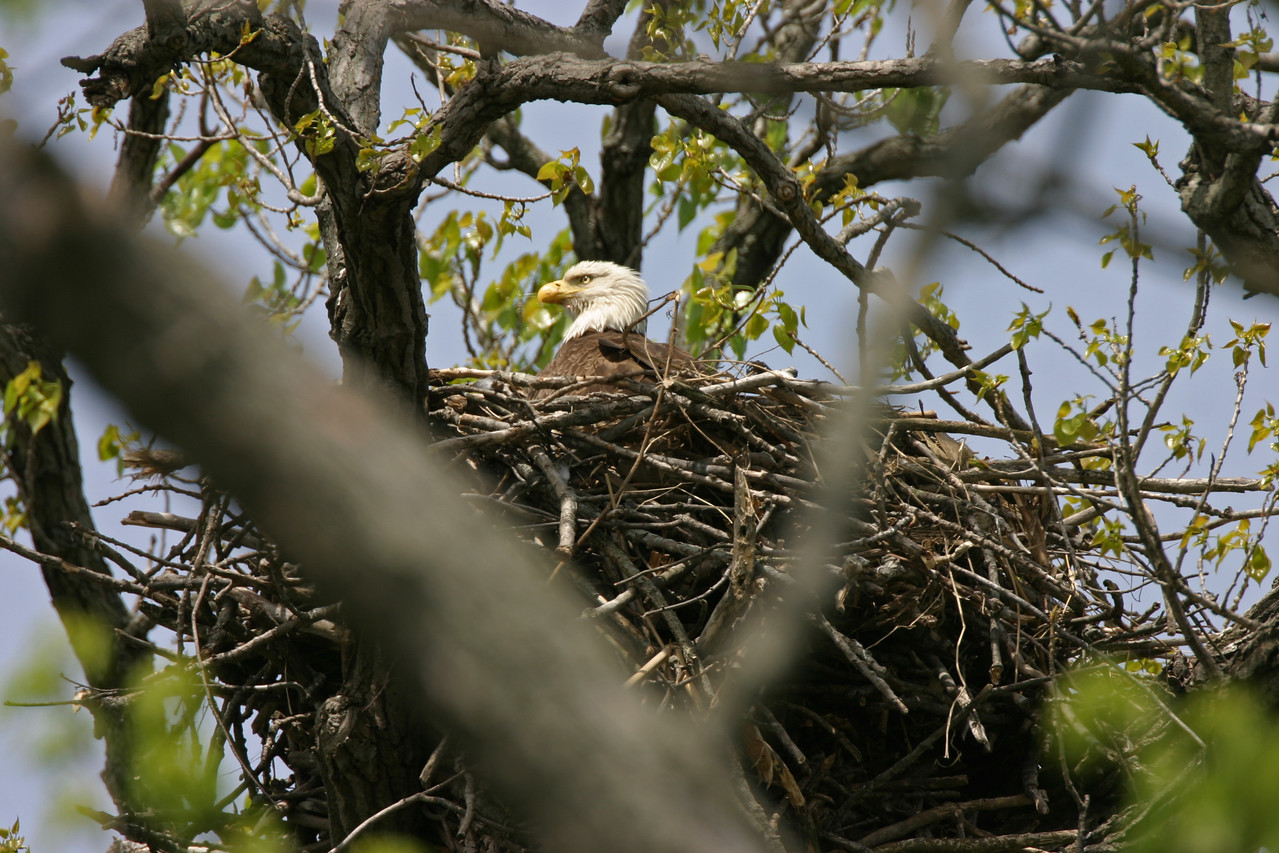 Bald Eagle nest, along Wabash River north of Newport, Vermillion County, Indiana, April 24, 2006.