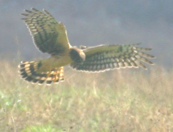 Northern Harrier at Clay/Vigo County border, northern Chinook Mine, Nov 29, 2004.