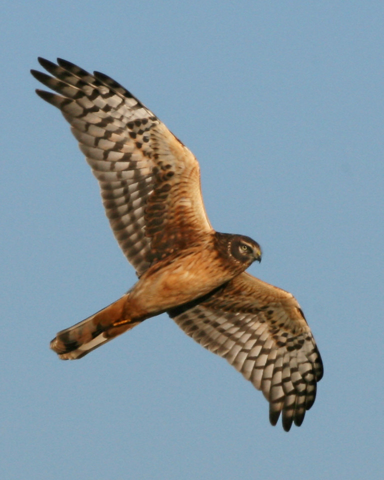 Northern Harrier, Universal Mine, January 27, 2007.