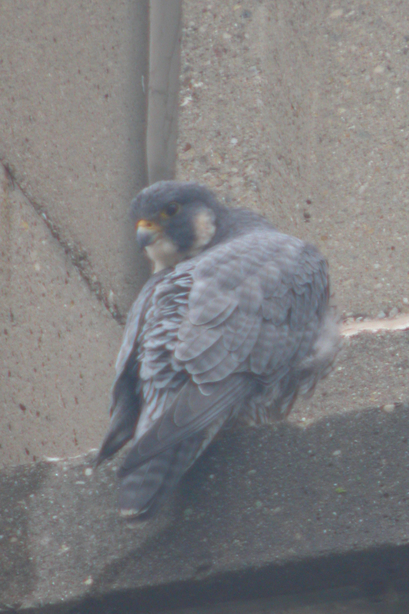 Pergrine Falcon, 15th floor of the ISU School of Business (northside of bldg.), 9th and Spruce Street in Terre Haute, Indiana, Dec 23, 2005.