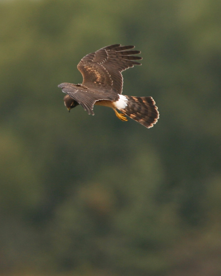 Northern Harrier, Beehunter Marsh, Sept 30, 2006.