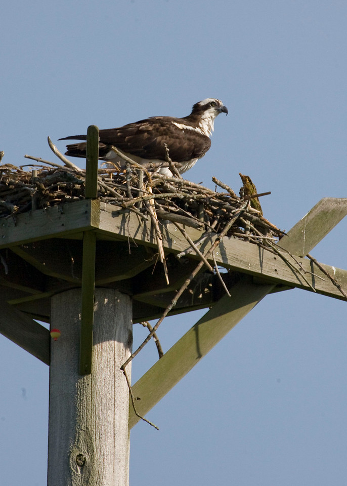 Osprey, Potato Creek State Park, May 2009.