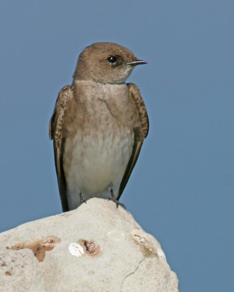 Northern Rough-Winged Swallow, Chinook Mine South, April 24, 2006.