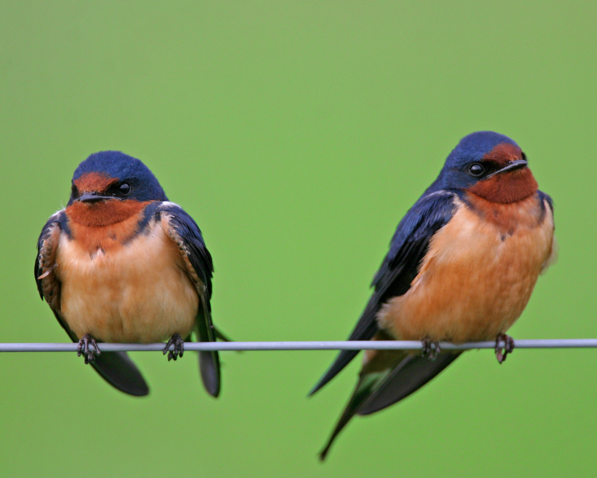 Barn Swallows, Chinook Mine North, Vigo County, Indiana, May 1, 2006.