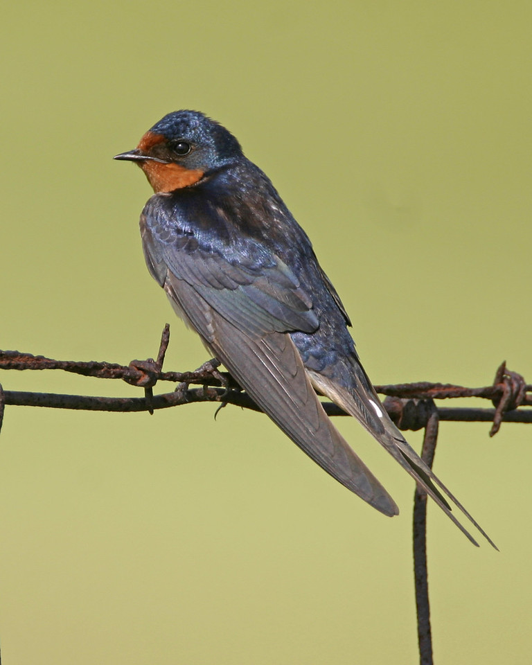 Barn Swallow, Chinook Mine, Vigo County, Indiana, June 19, 2006