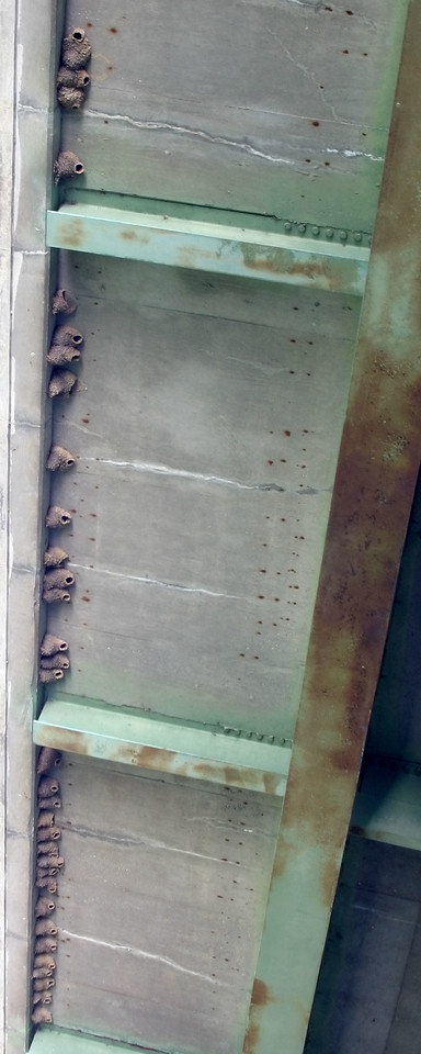 Cliff Swallow nests along the underside of the State Road 36,  Photographed from boat, July 24, 2009.