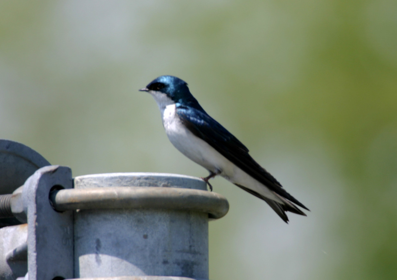 Tree Swallow, Chinook Mine, Vigo County, Indiana, May 2005.