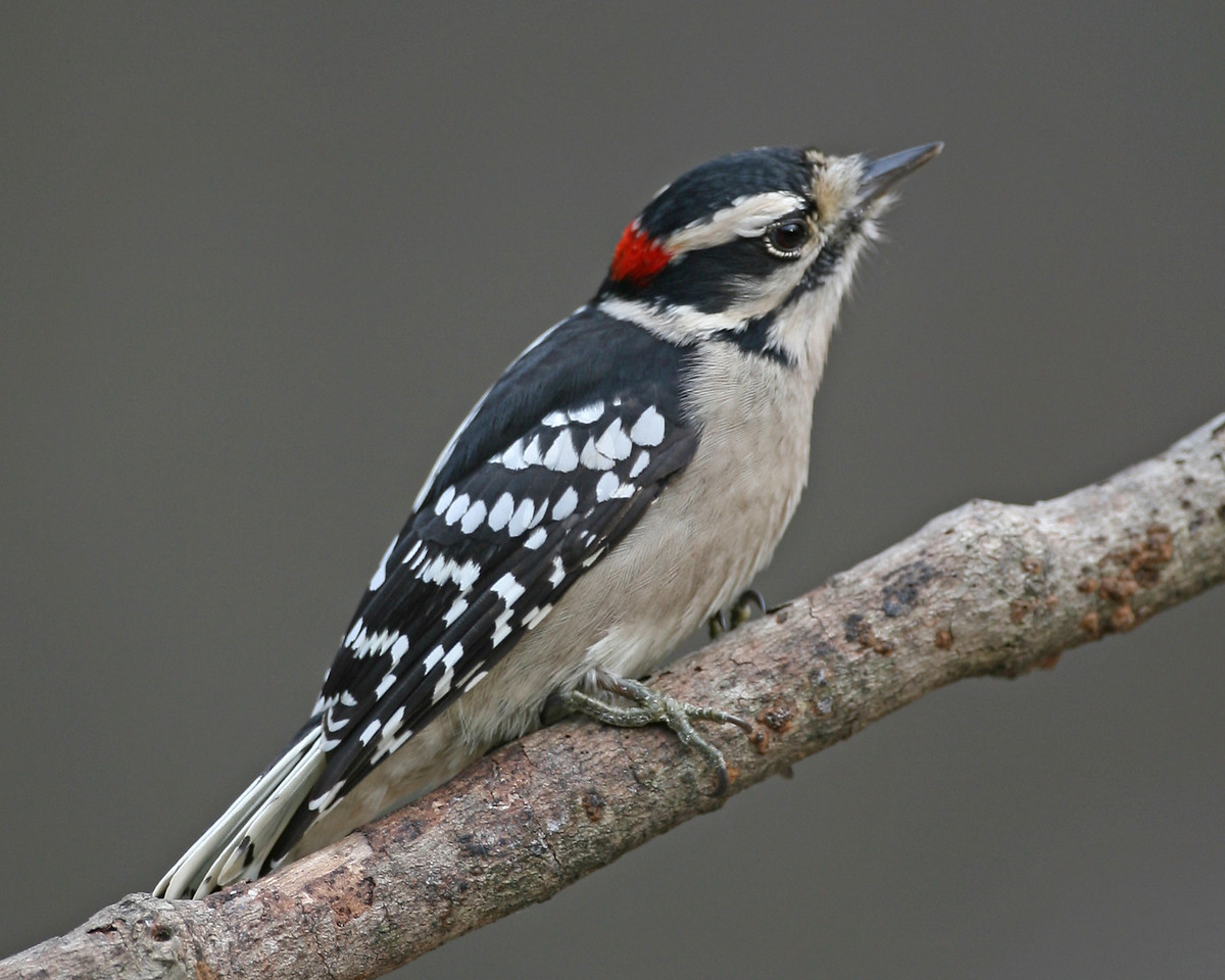 Male Downey Woodpecker, Backyard, Nov 10, 2006.