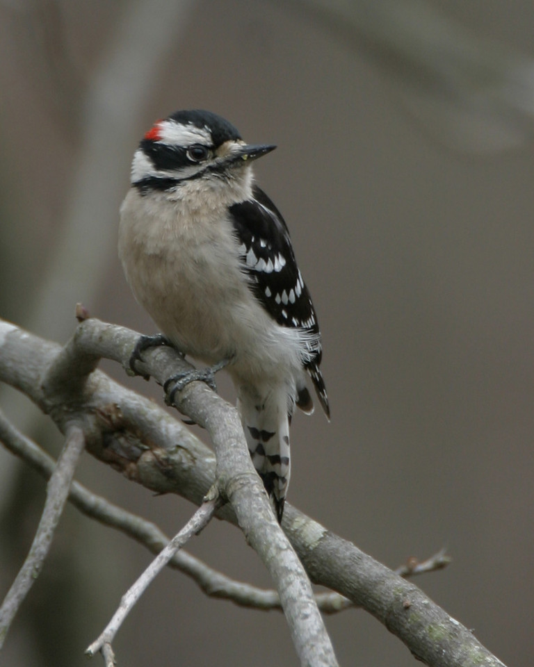 Downy Woodpecker, Backyard, Vigo County, Indiana, March 29, 2006.