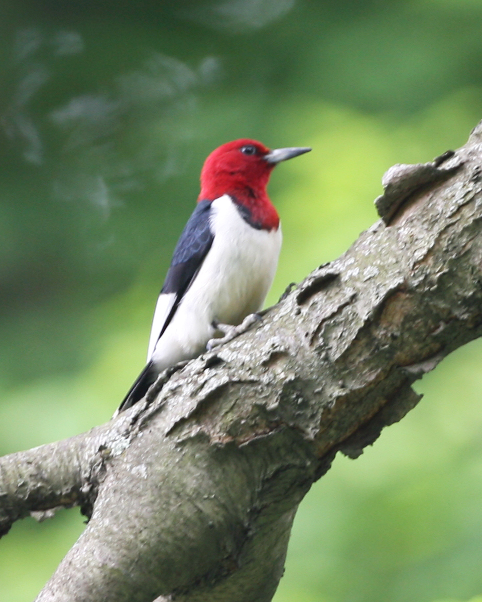 Red Headed Woodpecker, Forest Park, Vigo County, Indiana, May 31, 2007.