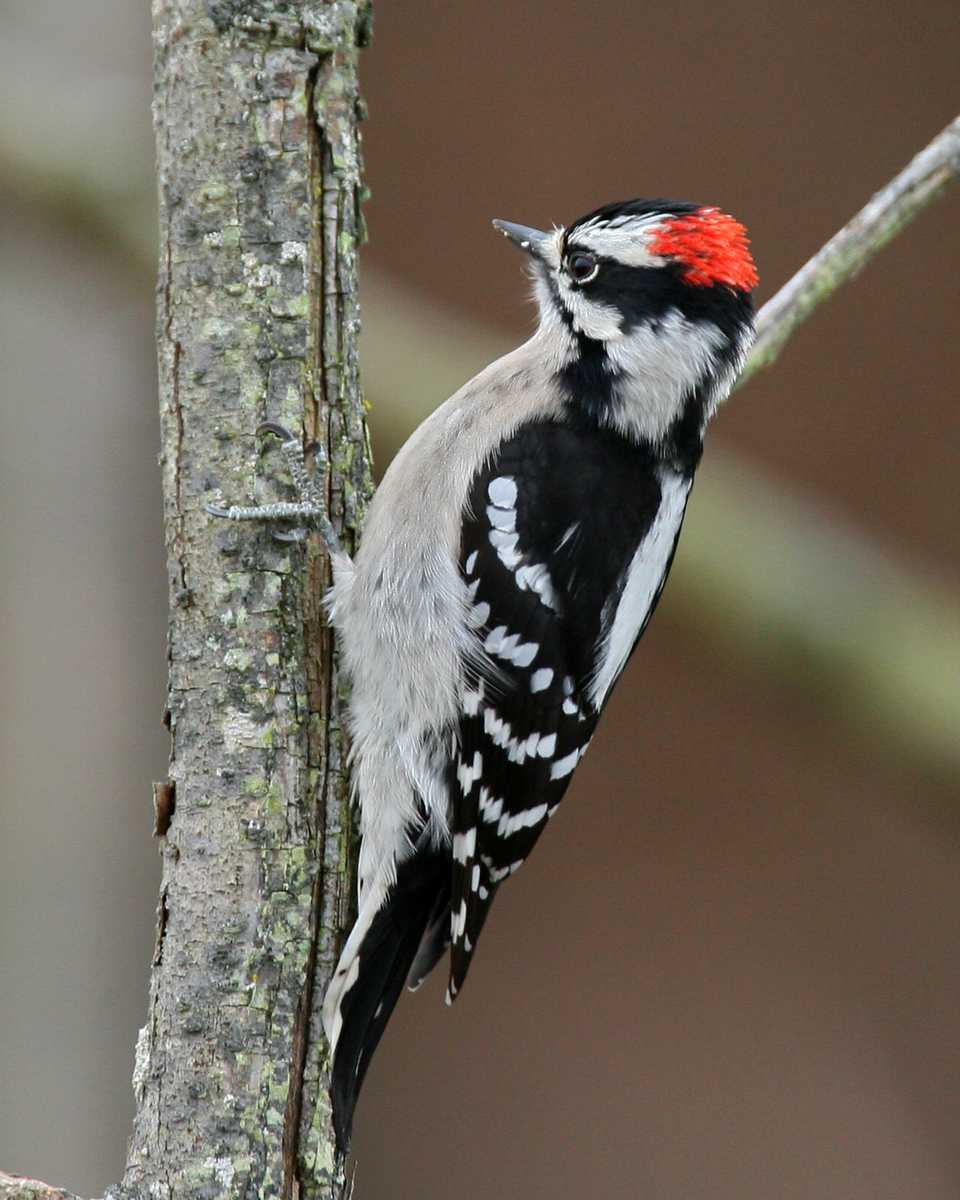 Downy Woodpecker, Brazil Lagoons, Clay County, Indiana, December 30, 2006.