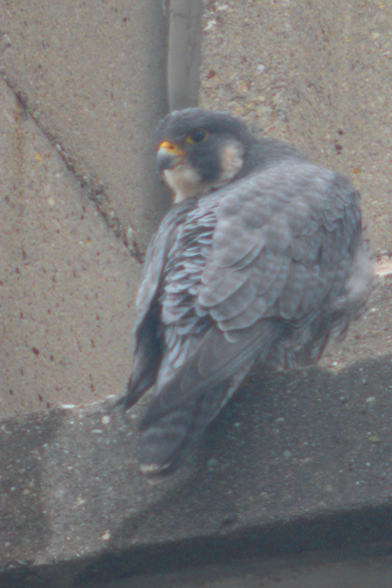 Peregrine Falcon on the 15 floor of the Indiana State University School of Business Building, 9th and Spruce in Terre Haute.  Photographed Dec 23, 2005.