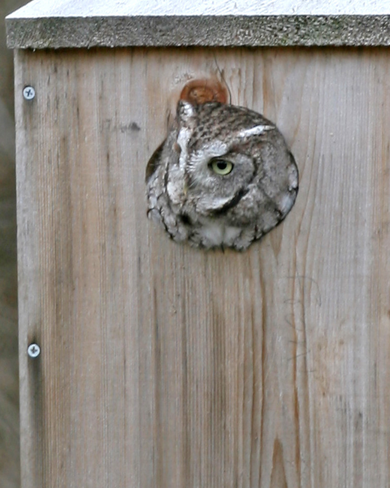 Eastern Screech Owl, Kingsbury State Fish and Wildlife Area, December 5, 2006.