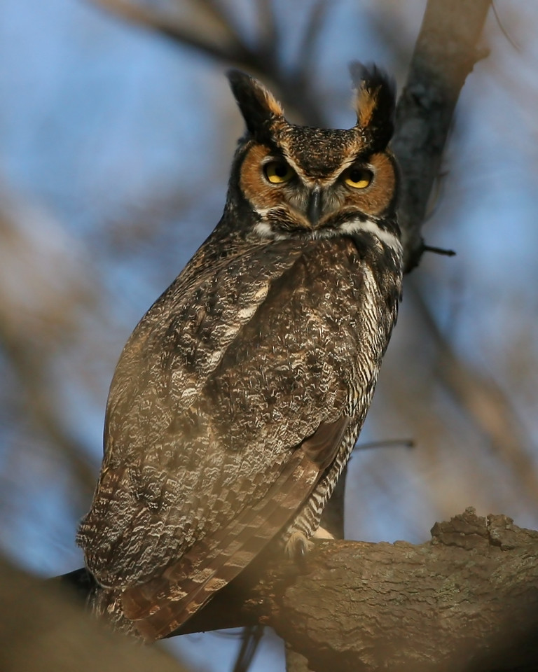 Great-horned Owl, Universal Mine, Vermillion County, Indiana, January 12, 2008.