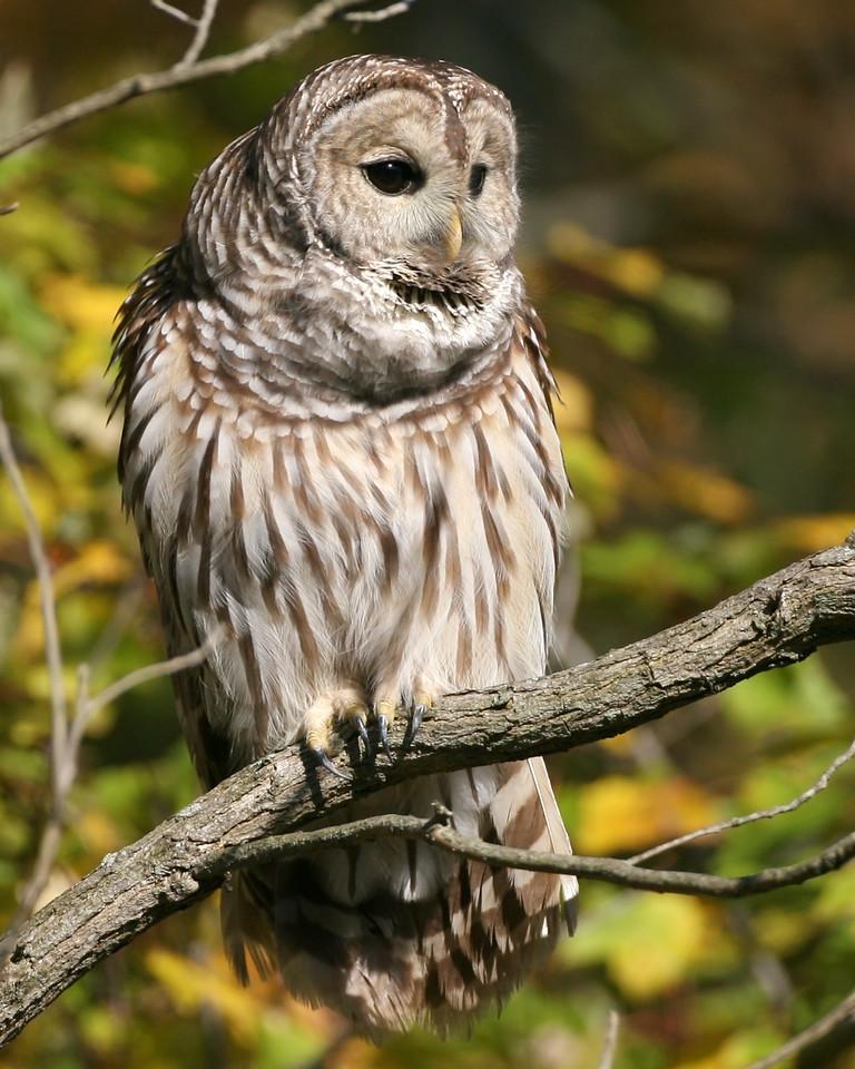 Barred Owl, Chinook Mine South, Vigo County, Indiana, October 28, 2007.