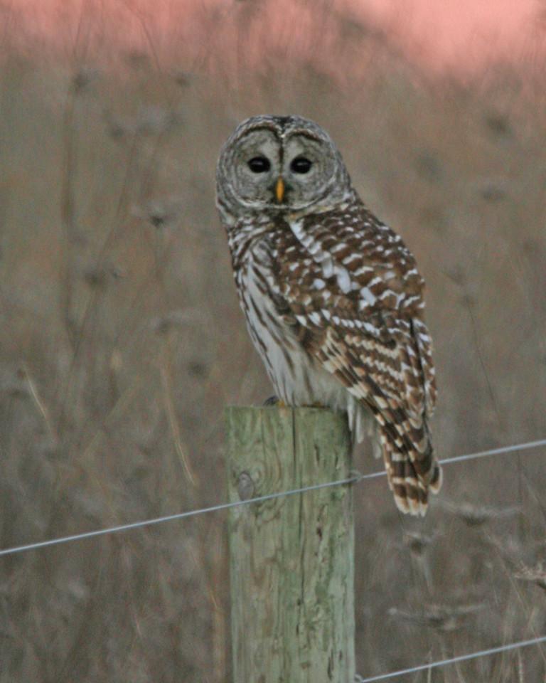 Barred Owl, Chinook MIne North, Nov 24, 2006.