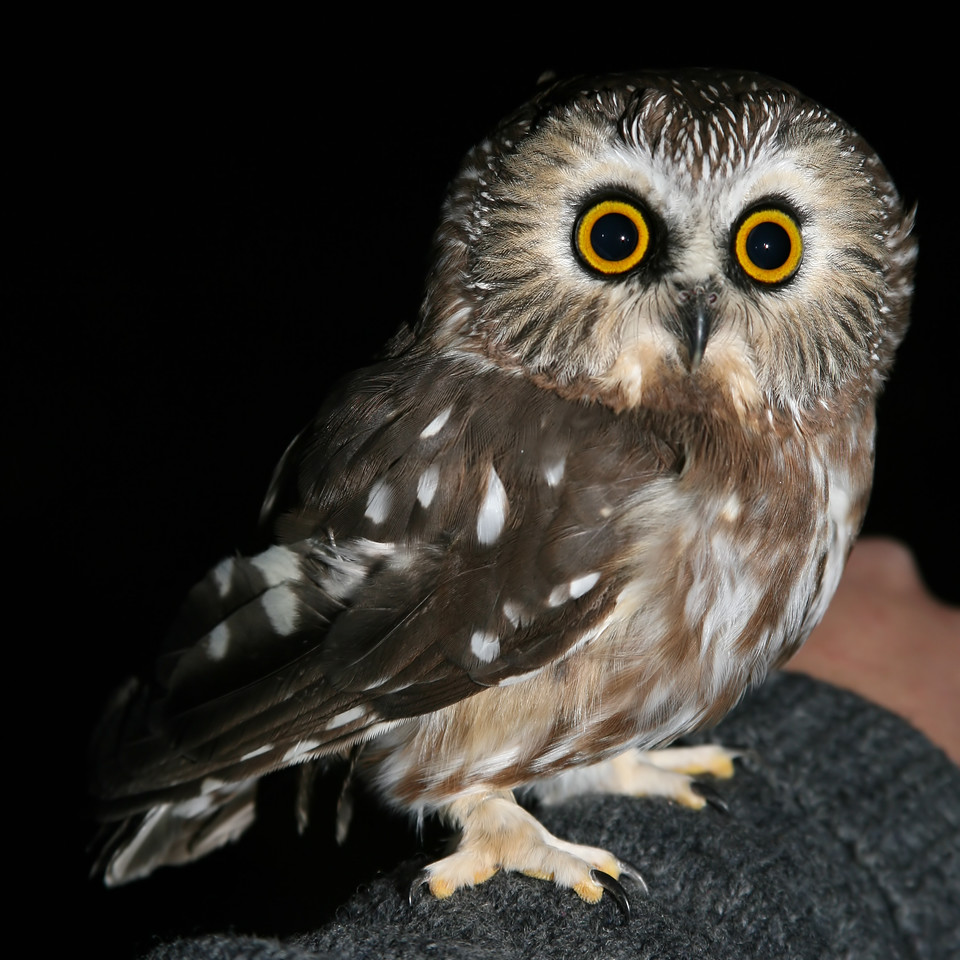 Northern Saw-whet Owl,  One of 21 Saw-whet owls netted during the evening banding operation at Yellowood State Forest, Brown County, Indiana, October 28, 2007.