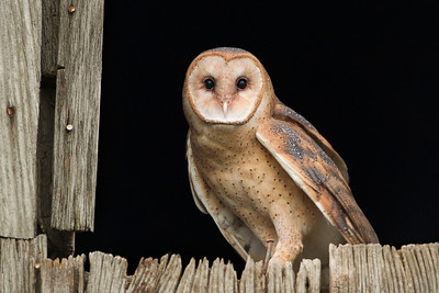 Barn Owl, Daviess County, Indiana, June 12, 2013.