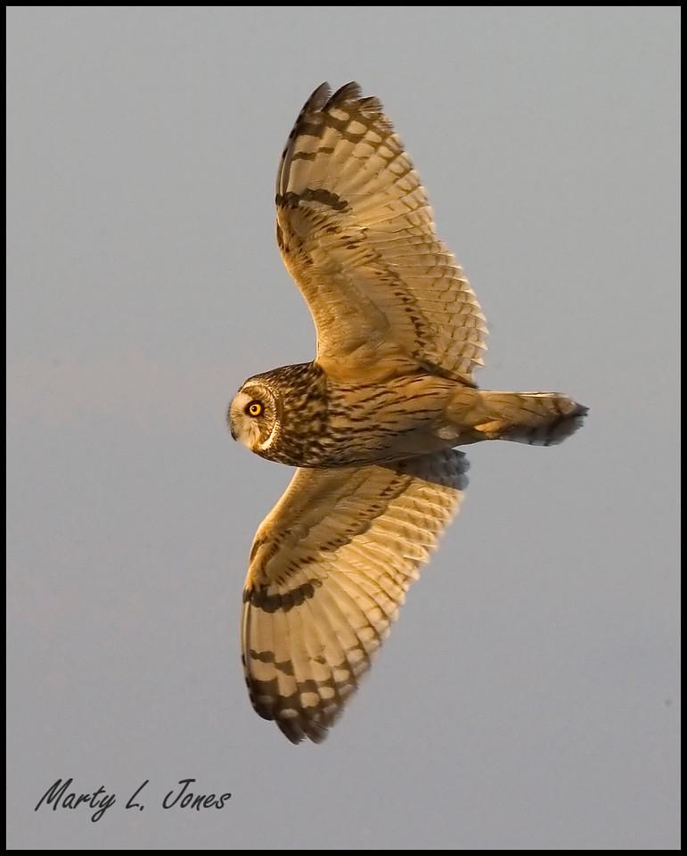 Short-eared Owl, Chinook Mine, Clay County, Indiana, January 19, 2009.
