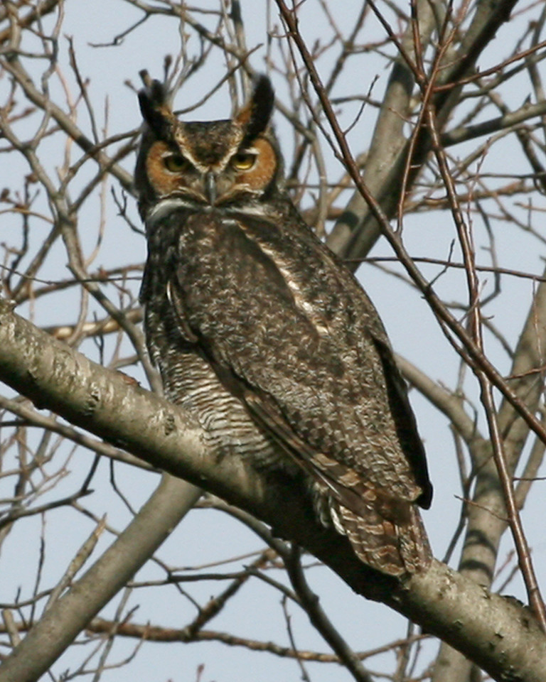 Great Horned Owl, Universal Mine, March 15, 2007.