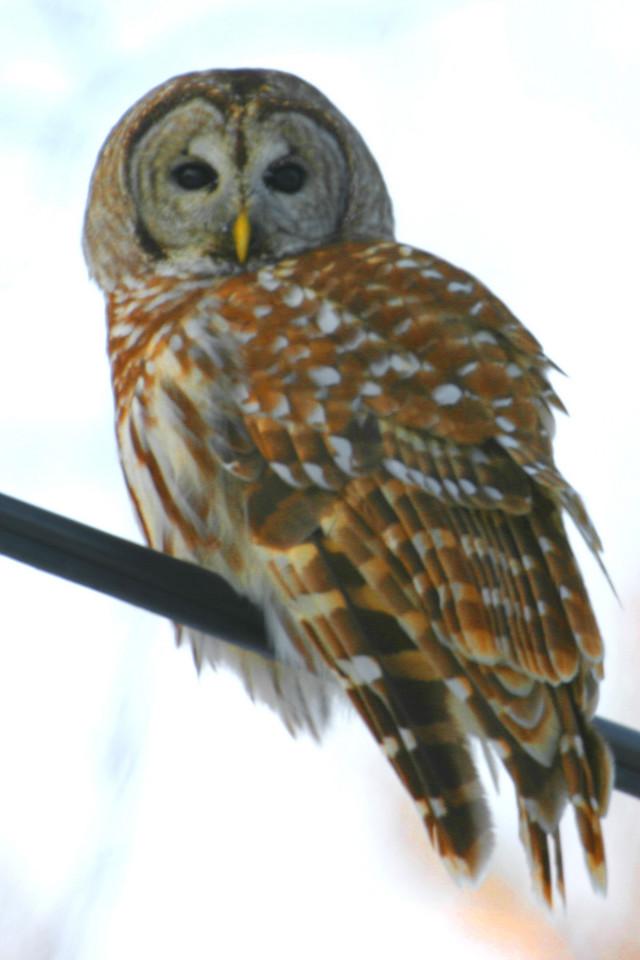 Barred Owl, Northern Chinook Mine at Tabortown/Spence Road, Vigo County, Dec 10, 2005.