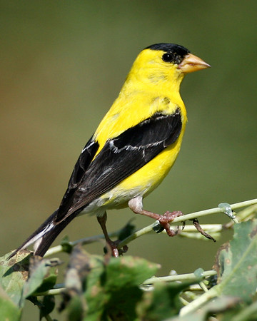 Finches - Eight of the ten species expected in Indiana have been photographed