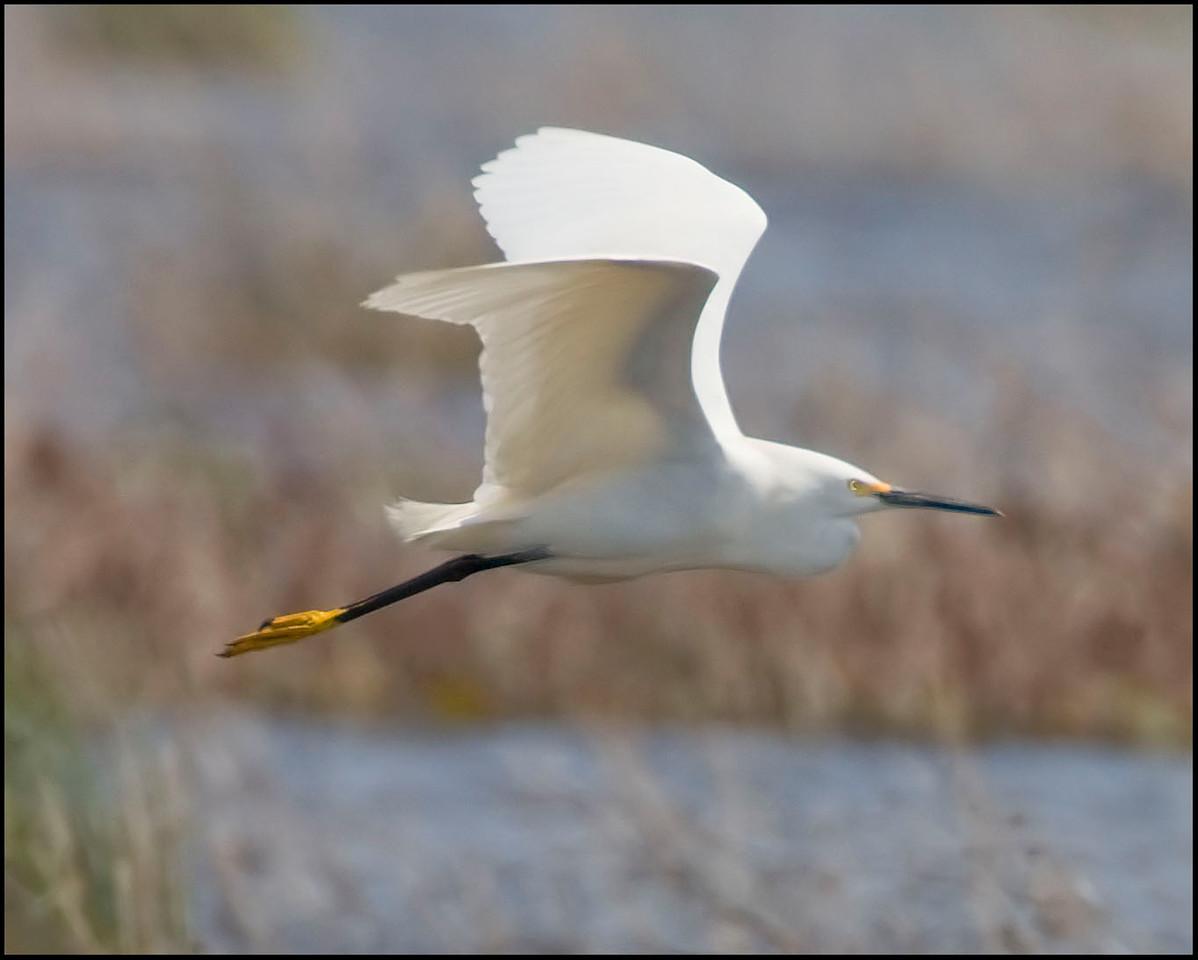 Snowy Egret, Goose Pond 9, Greene County, Indiana, April 25, 2009.