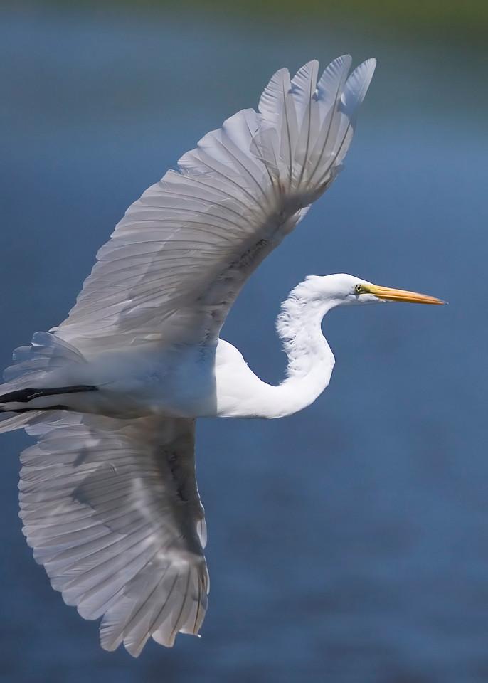 Egret, Wabash River/Hwy 40 Wetland, August 10, 2008.