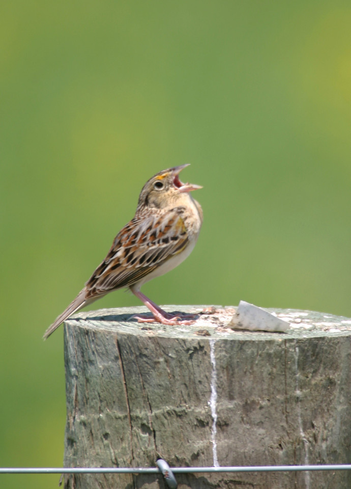 Grasshopper Sparrow, Chinook Mine, May 2005
