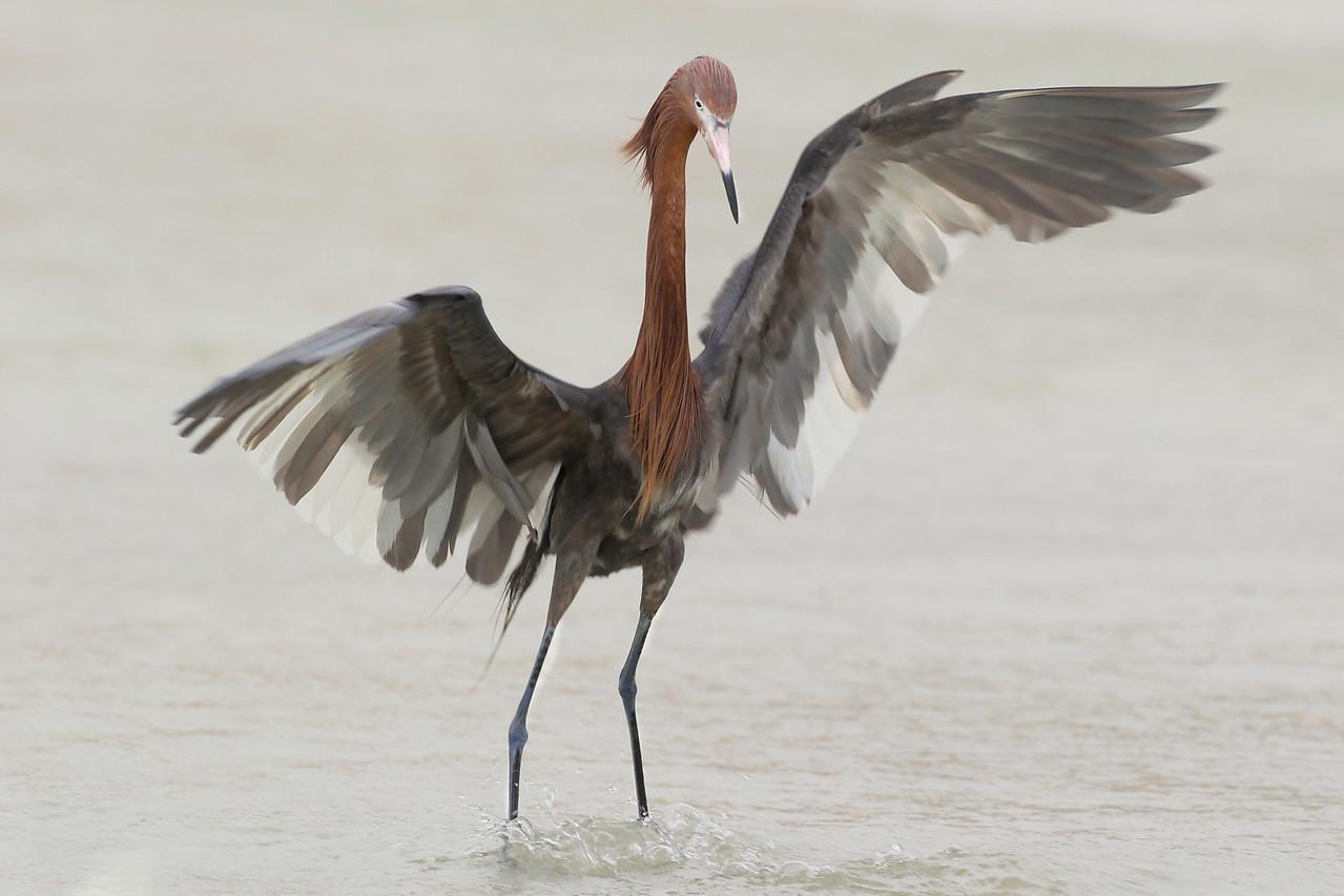 Reddish Egret, Ft. Myers Beach, Florida, June 2012.