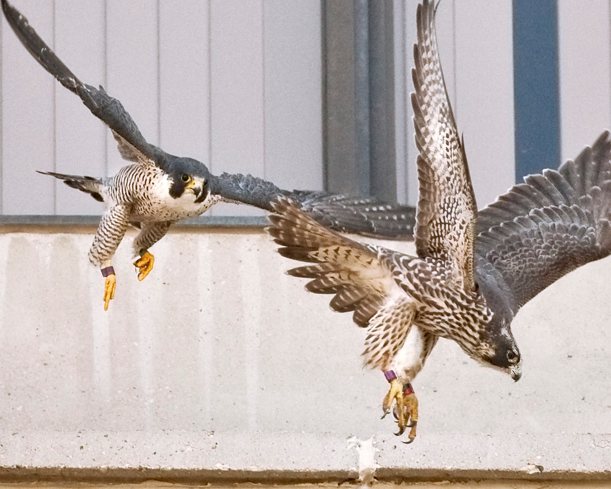 "Peregrine Falcons, Indiana State University, Terre Haute, Indiana, August 25, 2009. According to Indiana DNR, the  juvenile falcon was banded April 25, 2009 at Millcreek Generating Station near Louisville, KY.  Her name is ""Electra"".  The second year falcon in left part of photo was banded in 2008 from IPL Stout Generating Station in Indianapolis."
